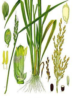 Рис посевной - его полезные свойства