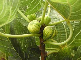 Смоква (инжир) - как сохранить ягоду