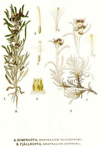 сушеница болотная (топяная)