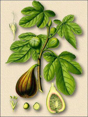 Фиговое дерево (инжир) в рецептуре народной медицины