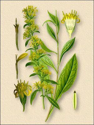 Золотая розга или золотарник обыкновенный