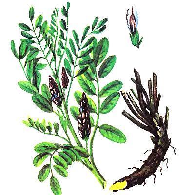 Солодка уральская или Лакричный корень