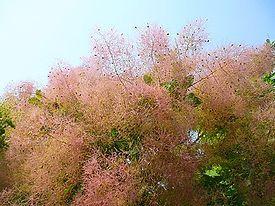 Скумпия или Растение-парик