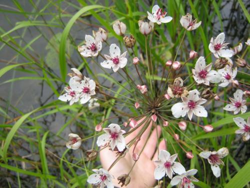 Сусак зонтичный - лекарственное растение болот и озер