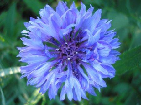 Василек синий для лечения лечения мочеполовой системы