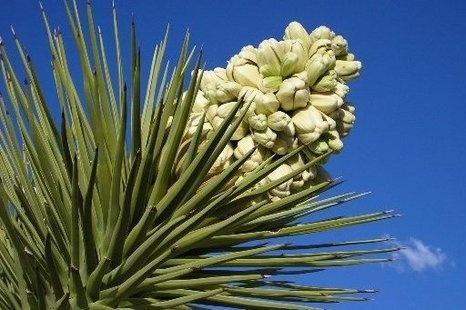 Юкка славная и ее листья для лечения аллергии и болезней кожи