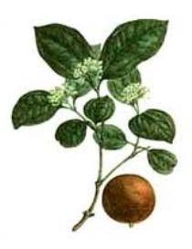 Чилибуха в помощь при сниженом обмене веществ