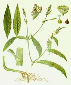 Горец почечуйный - полезное и используемое растение