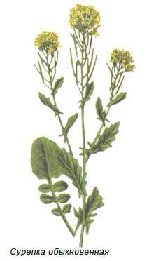 Сурепка - лекарство от импотенций и витаминнное растение