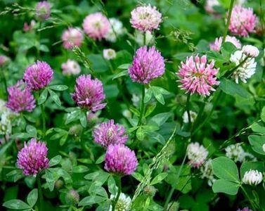 соцветия клевера лугового