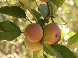 Яблоня лесная поможет кишечнику