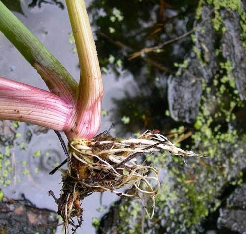 Цикута (вёх ядовитый) от подагры