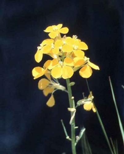 желтушник при лечении туберкулеза