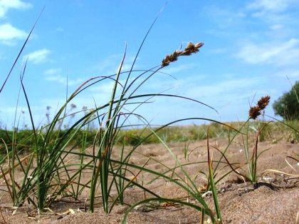 осока песчаная