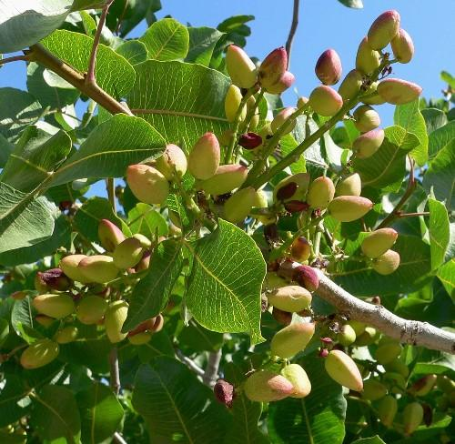 Фисташковое дерево против язвы желудка