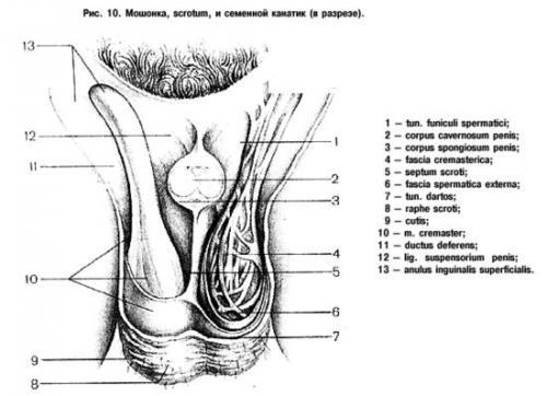 анатомии: строение яичка.